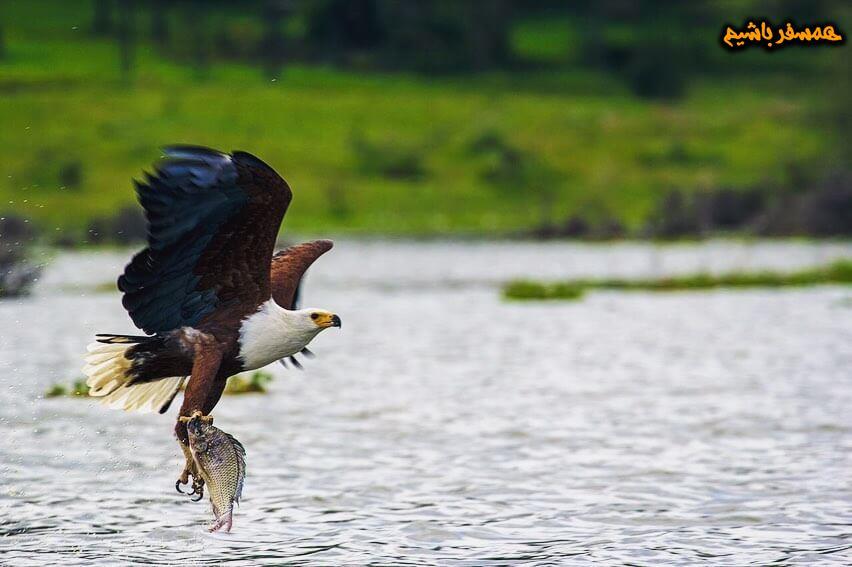 عقاب آفریقایی همسفرباشیم
